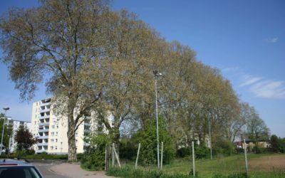Bäume am Sportplatz müssen fallen!